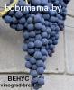 Саженцы винограда из питомника с доставкой